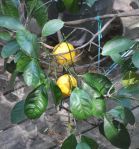 Potted Meyer Lemons Growing onDeck
