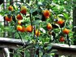 Potted Bitter Orange tree onDeck
