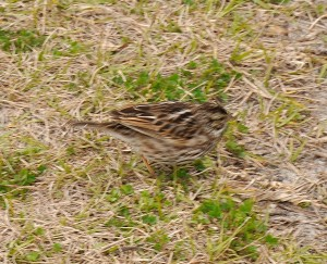 Song Sparrow in Parking Lot