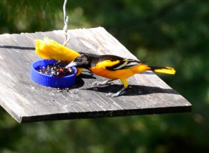 Baltimore Oriole eating grape jam.