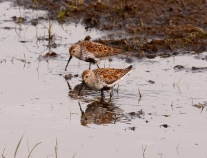 Pair of Dunlin