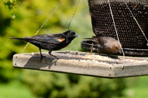 Red-winged Blackbird and Cowbird on a feeder.